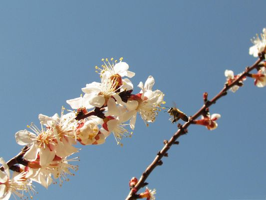 click to free download the wallpaper--Flowers and Nature, White Cherry Flowers Under the Blue Sky, Clean and Fresh Scene