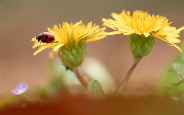 Flowers and Nature, Wild Chrysanthemum in Pairs, Little Insect on Them