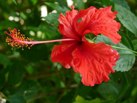 click to free download the wallpaper--Flowery Natural Scenery, Red Hibiscus, Stamen Stretched Out, Waterdrops All Over