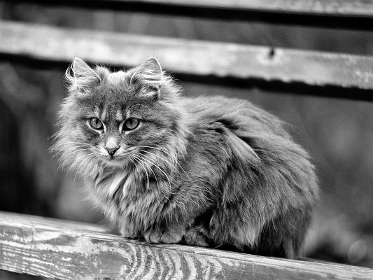click to free download the wallpaper--Fluffy Cat Images, Kitten in Long Fur, Black and White Style, Incredible Look