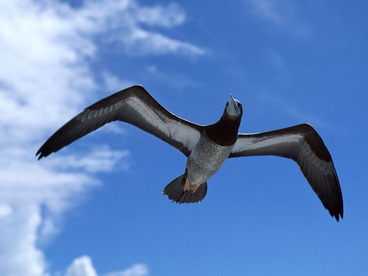 click to free download the wallpaper--Flying Bird Desktop, the Blue and Endless Sky, Stretched Wings