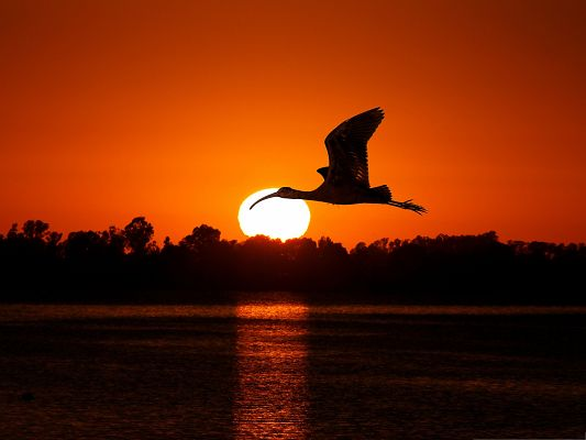 click to free download the wallpaper--Flying Birds Photography, Big Bird Flying at Sunset, Amazing Scenery