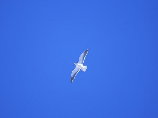 click to free download the wallpaper--Flying Birds Pictures, Fly in the Blue Sky, Feel Wild and Free