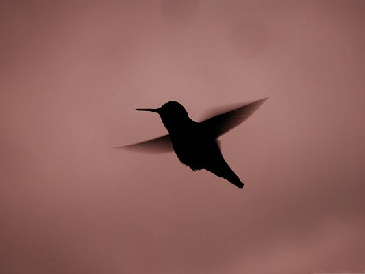click to free download the wallpaper--Flying Hummingbird Silhouette, Little Bird's Stretched Wings, Impressive Look