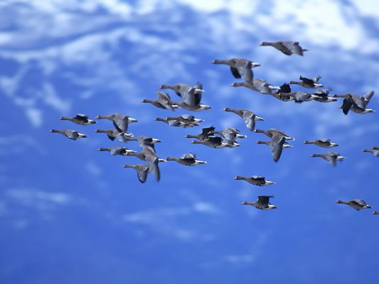 Flying Wild Goose Picture, a Group of Birds in the Blue Sky, Fly High and Far