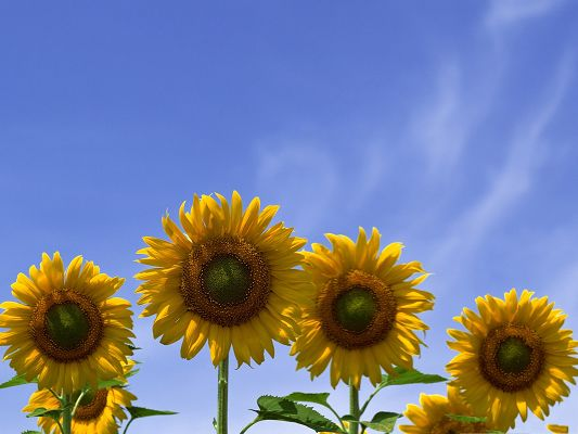 click to free download the wallpaper--Four Sunflowers Picture, Beautiful Sunflowers Under the Blue Sky, Amazing Scene