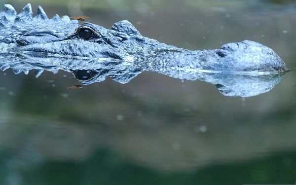 Free Animals Wallpaper, Alligator In Water, the Most Dangerous