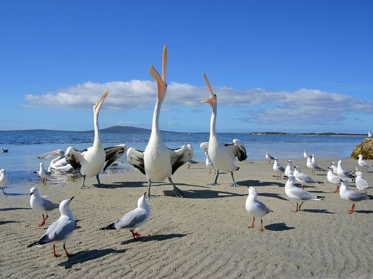 click to free download the wallpaper--Free Animals Wallpaper, Beggars Pelicans and Seagulls, Shout Toward the Sky