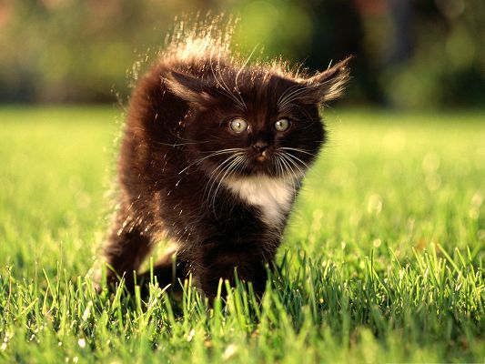 click to free download the wallpaper--Free Animals Wallpaper, Black Fluffy Kitty Outdoor, Walk in Green