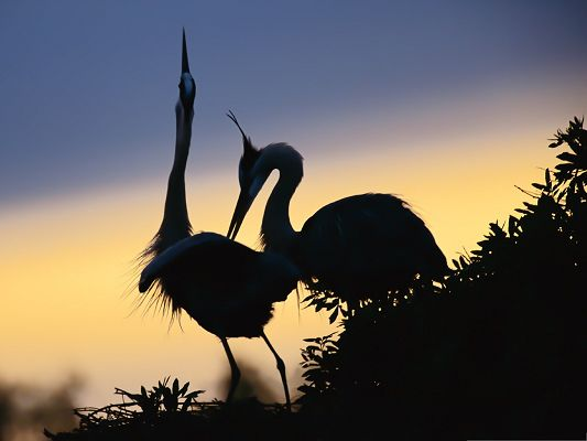 click to free download the wallpaper--Free Animals Wallpaper, Cranes Pair, Tall and Decent