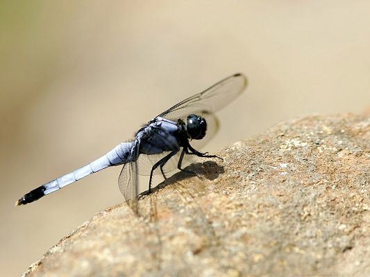 click to free download the wallpaper--Free Animals Wallpaper, Dragonfly On The Rock, Under Macro Focus
