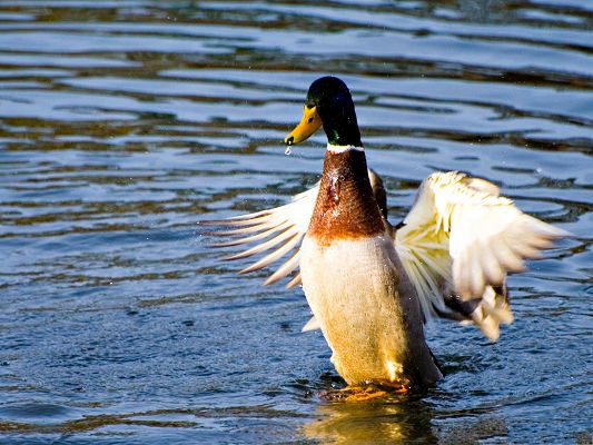 click to free download the wallpaper--Free Animals Wallpaper, Duck In Water, Are You Going to Fly?