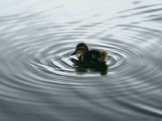 click to free download the wallpaper--Free Animals Wallpaper, Duck in Water, Circular Ripples Around