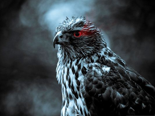 click to free download the wallpaper--Free Animals Wallpaper, Eagle Eye, Sharp and Scary