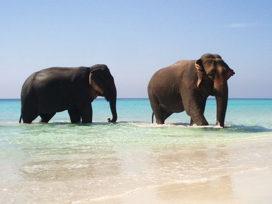 click to free download the wallpaper--Free Animals Wallpaper - Elephants Pair Crossing the Sea, Happy Summer Time!