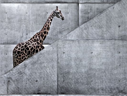 click to free download the wallpaper--Free Animals Wallpaper, Giraffe Climbing Stairs, Walk Slowly