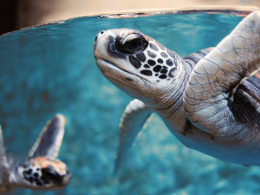 Free Animals Wallpaper, Green Sea Turtle Underwater, the Best Environment