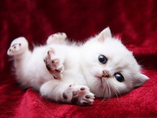 click to free download the wallpaper--Free Animals Wallpaper, Kitten Begging Cutely, You Will Give It What is Asked