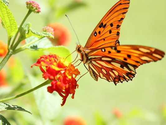 click to free download the wallpaper--Free Animals Wallpaper, Orange Butterfly on a Blooming Flower, Great Lovers