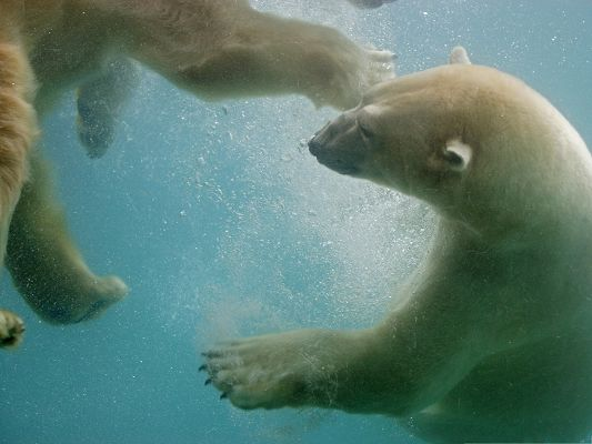 click to free download the wallpaper--Free Animals Wallpaper, Polar Bears In Water, Playing with Each Other