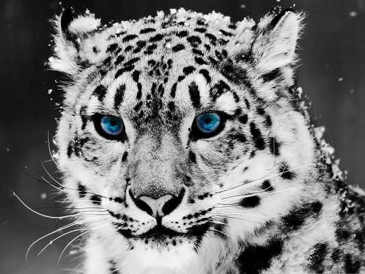 click to free download the wallpaper--Free Animals Wallpaper, Snow Leopard in Black And White Portrait