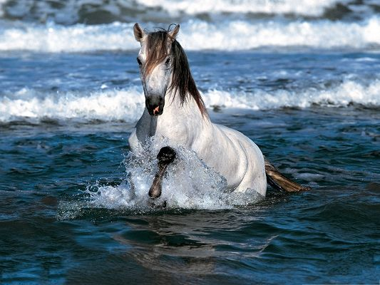 click to free download the wallpaper--Free Animals Wallpaper, White Horse Running in Water, Be Slow and Careful