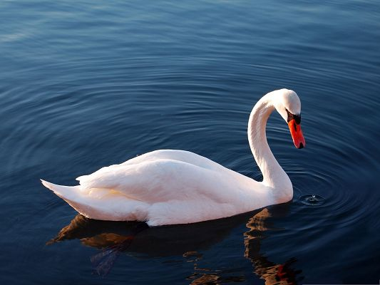 click to free download the wallpaper--Free Animals Wallpaper, White Swan in Water, the Beautiful and Proud Princess
