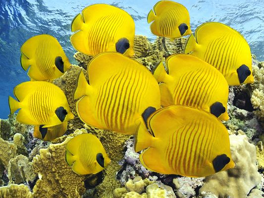 click to free download the wallpaper--Free Animals Wallpaper, Yellow Fishes Underwater, Free Swim