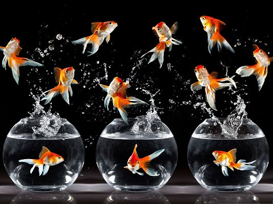 click to free download the wallpaper--Free Animals Wallpaper, a Number of Goldfishes, Happy in Jump