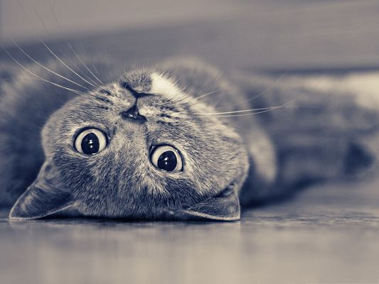click to free download the wallpaper--Free Animals Wallpaper, the Lazy British Shorthair Cat, Nice Eyes
