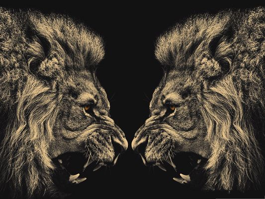 click to free download the wallpaper--Free Desktop Pictures, Two Lions Screaming Toward Each Other
