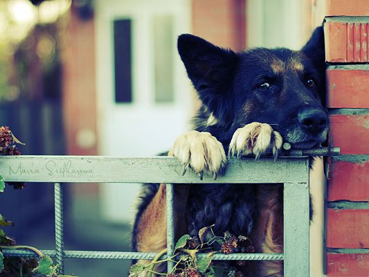 click to free download the wallpaper--Free Dogs Picture, Grounded German Shepherd, Commit Your Crime Soon Enough