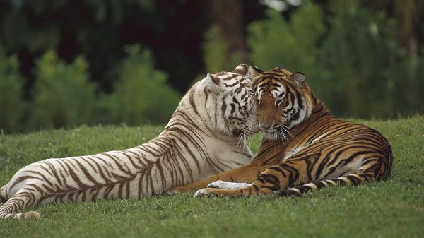 click to free download the wallpaper--Free Download Cute Animals Image - The Two Tigers Are Emotional and Lovely, They Enjoy Being Close Together