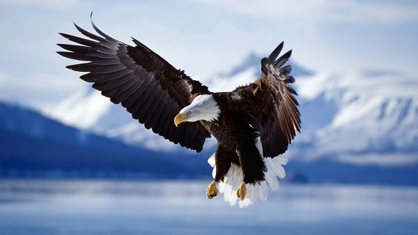 click to free download the wallpaper--Free Download Cute Animals Picture - A Flying Eagle, Wings Fully Stretched, Sharp Eyes Looking Attentively