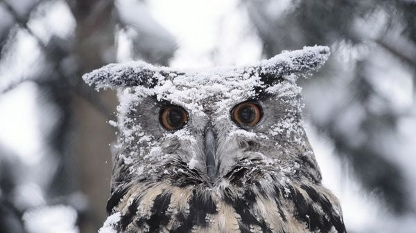 click to free download the wallpaper--Free Download Cute Animals Picture - Eyes of the Owl Are Wide Open, Tough and Determined with Snow All Over It