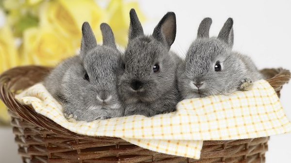 Free Download Cute Animals Picture - Three Rabbits in a Small Basket, Innocent Facial Expression, Cuties!