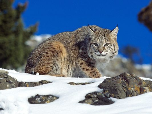 click to free download the wallpaper--Free Download Cute Animals Wallpaper - Cold Stare Bobcat in Snowy World, It is Surely Fast and Cool, Little Animals, Take Care!