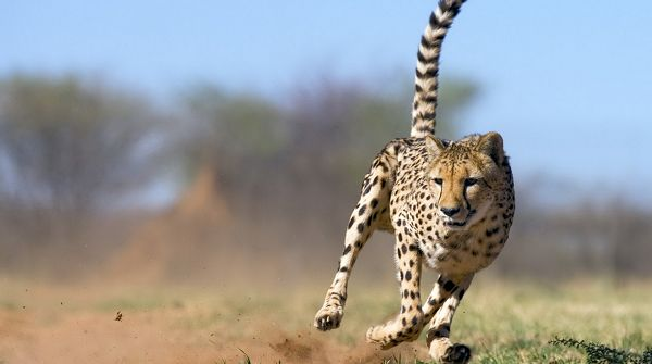 Free Download Cute Animals Wallpaper - Leopard Looking in a Certain Direction, Won't Let It Get Off This Time