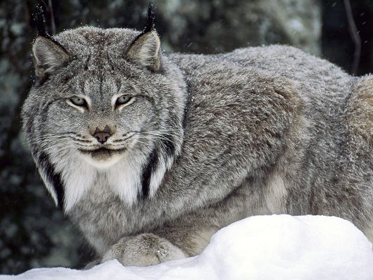 Free Download Cute Animals Wallpaper of Canadian Lynx, Cruel Little Thing Looking Straight, Somebody is Going to Taste Its Teeth