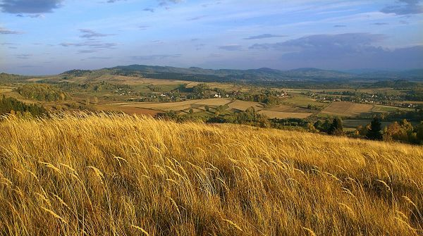 Free Download Natural Scenery Image - Ripe Wheats Turning Yellow, Blown Down by the Wind, Moving in One Direction