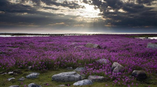 click to free download the wallpaper--Free Download Natural Scenery Picture - A Field of Purple Flowers, Sunlight Breaks Through the Thick Clouds