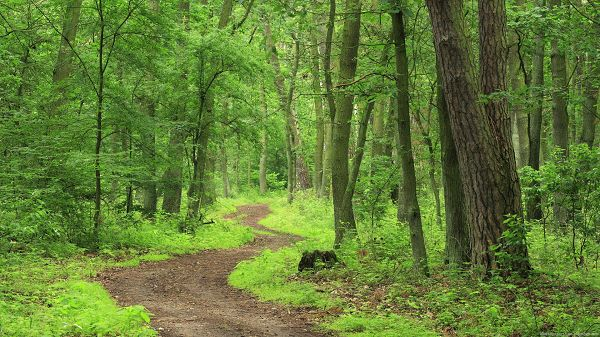 click to free download the wallpaper--Free Download Natural Scenery Picture - A Narrow and Earthy Road, Tall Trees in Prosperous Growth, a Full Eye of Green