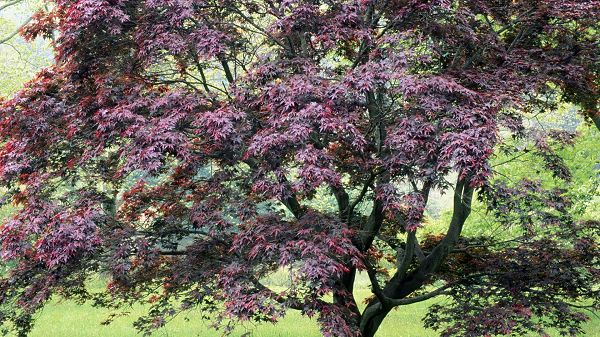 Free Download Natural Scenery Picture - A Tall Tree in Purple Leaves, Green Plants Surrounding, a Great Scene