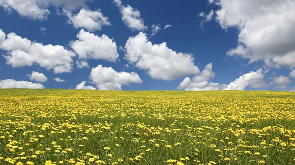 click to free download the wallpaper--Free Download Natural Scenery Picture - An Endless Field of Rape Flowers, the Blue Sky, Must be a Fine Day