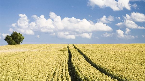 Free Download Natural Scenery Picture - An Endless Field of Wheat, the Blue Sky, Things Are Simple and Impressive
