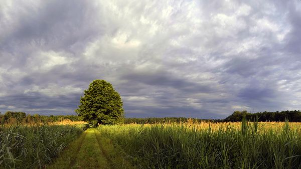 Free Download Natural Scenery Picture - An Endless Wheat Field, the Blue and Cloudy Sky, a Green Tree in the Middle