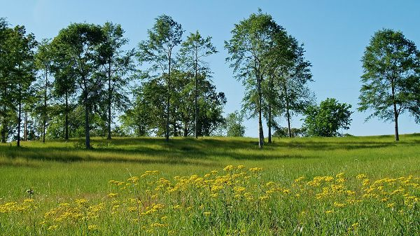 click to free download the wallpaper--Free Download Natural Scenery Picture - Blooming Rape Flowers and Tall Trees, Green Grass All Over