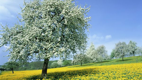 click to free download the wallpaper--Free Download Natural Scenery Picture - Numerous Trees in White Flowers and Rape Flowers, the Blue Sky, Great in Look