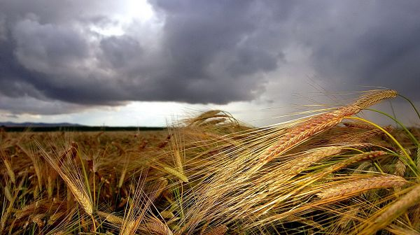 Free Download Natural Scenery Picture - Ripe Wheats Under the Cloudy and Misty Sky, Is a Rain Around the Corner?