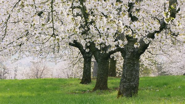click to free download the wallpaper--Free Download Natural Scenery Picture - Strong Trees in White Blooming Flower, Green Grass, Looking Great